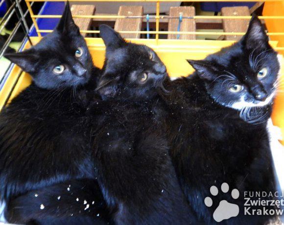 Trzy czarnulki