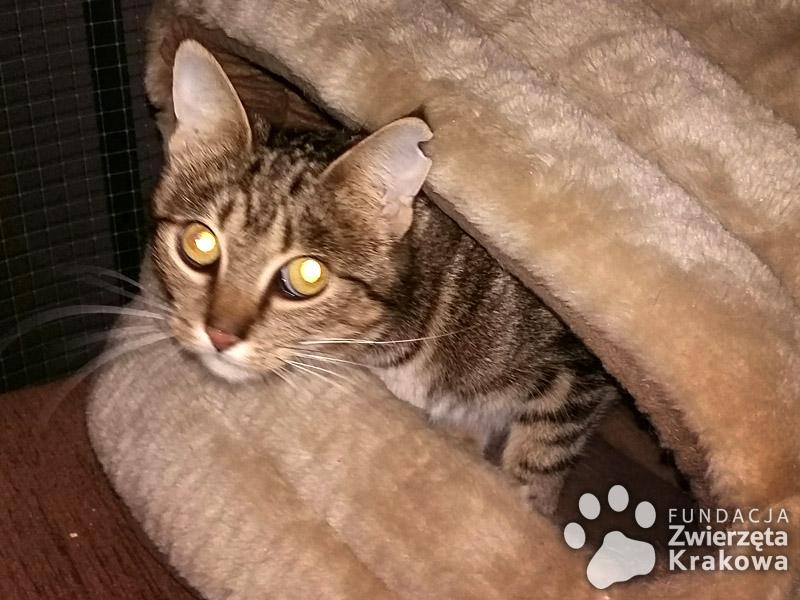 Piękna Emi w typie bengalskiego kota