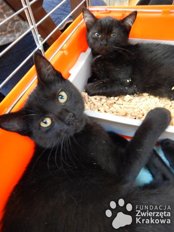 Nikita  – czarna koteczka