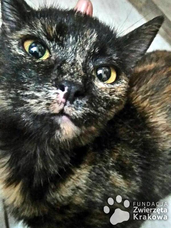 Szyszka – szylkretowa kotka ślicznotka