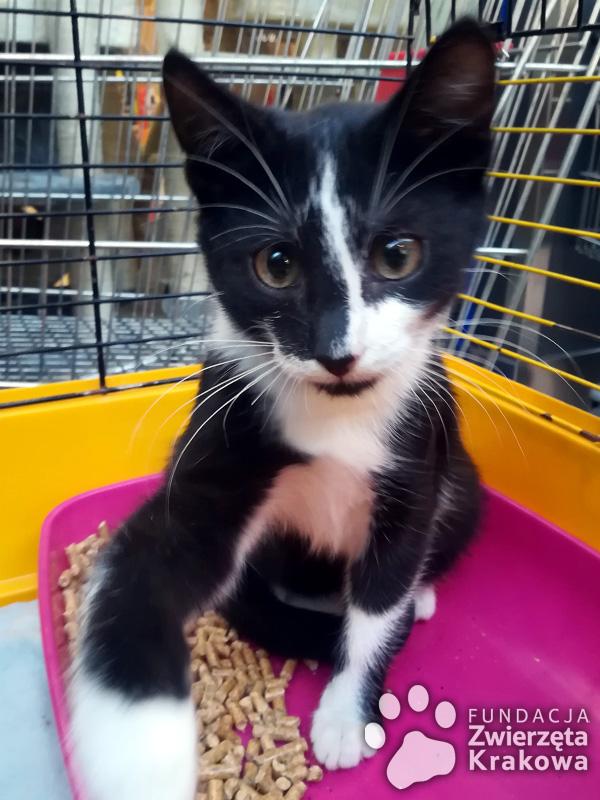 Czarno-biały wesoły koteczek