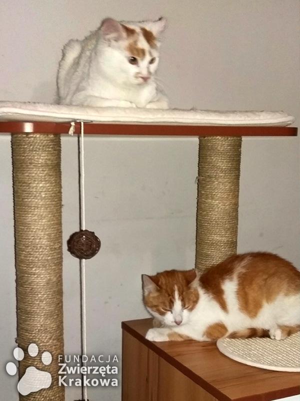 Kokosik i Orzeszek biało-rude przystojniaki