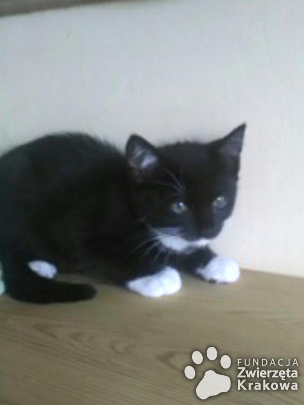 Malutka czarnulka Wiki