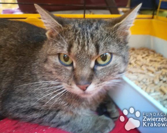 Przemiła koteczka Balbinka szuka dobrego domu