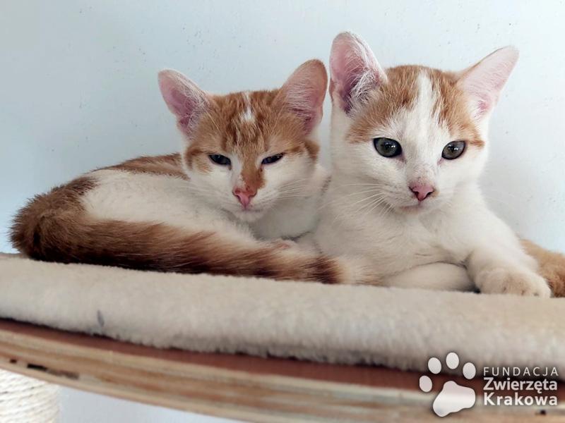 Przepiękne rudo-białe siostrzyczki