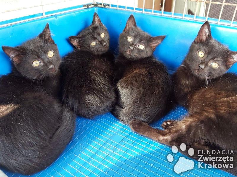 Cztery czarnulki