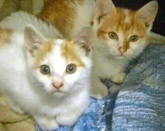 Rudo-białe koteczki