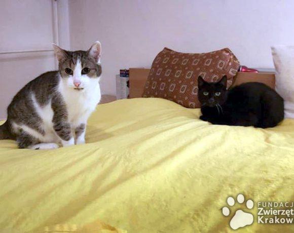 Behemot i Łatek – kotom wali się świat