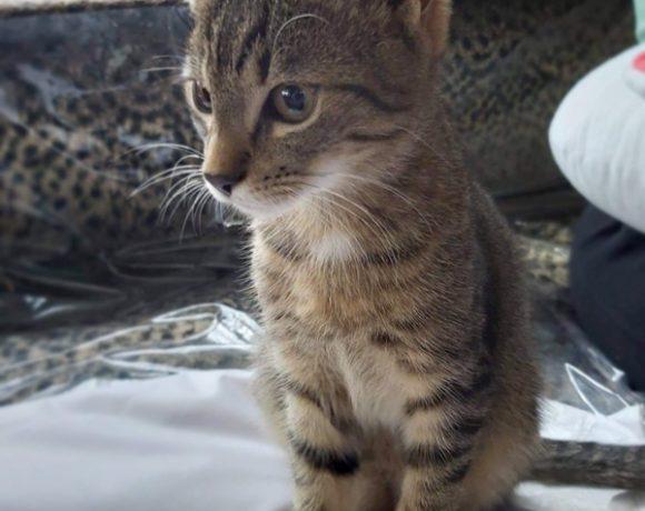 Przytul Tygryska