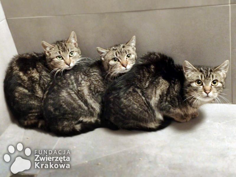 Mela, Fela i Hela – koteczki w typie kota bengalskiego